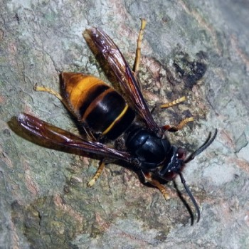 ツマアカスズメバチ
